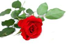 Rosa del rojo fotos de archivo