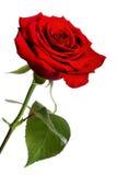 Rosa del rojo