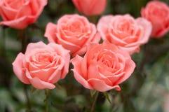 Rosa del rojo Imagen de archivo libre de regalías
