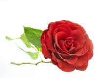 Rosa del rojo Fotos de archivo libres de regalías