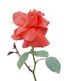 Rosa 27 del rojo Foto de archivo libre de regalías