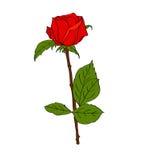Rosa del rojo adentro Fotografía de archivo