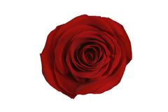 Rosa del rojo aislada Fotos de archivo