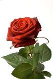 Rosa del rojo aislada en blanco Foto de archivo libre de regalías
