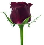 Rosa del rojo aislada en el fondo blanco Foto de archivo libre de regalías