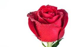 Rosa del rojo aislada en el fondo blanco Foto de archivo