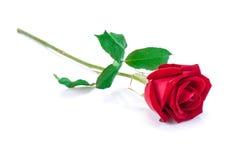 Rosa del rojo aislada en el fondo blanco Imagenes de archivo