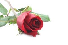 Rosa del rojo aislada en el fondo blanco Fotos de archivo libres de regalías