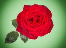 rosa del rojo aislada en fondo verde claro con las hojas Fotografía de archivo