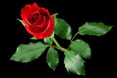 Rosa del rojo aislada en negro Imagenes de archivo