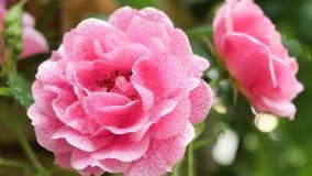 Rosa del rojo como fondo natural y de los días de fiesta Imagen de archivo libre de regalías