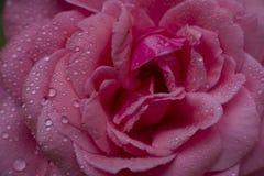rosa del rojo con descensos del agua, Foto de archivo libre de regalías