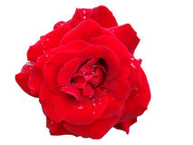 Rosa del rojo con descensos del rocío Imagen de archivo