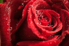 Rosa del rojo con descensos del rocío Fotografía de archivo libre de regalías