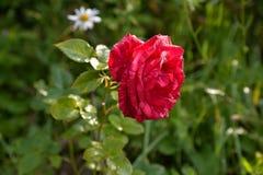Rosa del rojo con descensos del rocío en los pétalos Foto de archivo libre de regalías