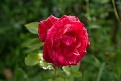 Rosa del rojo con descensos del rocío en los pétalos Imágenes de archivo libres de regalías