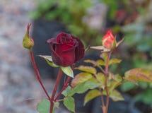 Rosa del rojo con el brote en tronco Imágenes de archivo libres de regalías