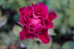 Rosa del rojo con el fondo de la falta de definición Fotografía de archivo libre de regalías