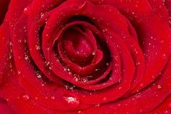 Rosa del rojo con el primer de los descensos Imágenes de archivo libres de regalías