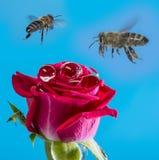Rosa del rojo con gotas de lluvia y abejas Fotografía de archivo libre de regalías