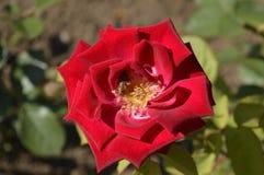 Rosa del rojo con la abeja Imagen de archivo libre de regalías