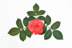 Rosa del rojo con las hojas en un fondo del blanco (nombre latino: Rosa) Imágenes de archivo libres de regalías
