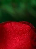 Rosa del rojo con las porciones de descensos del agua Imagen de archivo libre de regalías