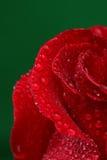 Rosa del rojo con las porciones de descensos del agua Fotos de archivo libres de regalías