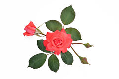 Rosa del rojo con los brotes y las hojas en un fondo del blanco (nombre latino: Fotografía de archivo libre de regalías