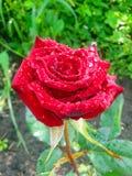 Rosa del rojo con rocío en los pétalos Imágenes de archivo libres de regalías