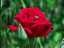 Rosa del rojo con un insecto en sus pétalos Fotografía de archivo