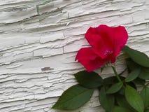 Rosa del rojo contra la pared Imagenes de archivo