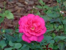 Rosa del rojo de Blossming en el jardín imagen de archivo