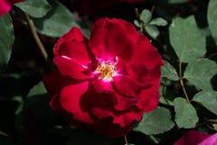 Rosa del rojo de la plena floración Fotografía de archivo