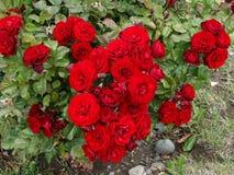 Rosa del rojo de las flores de Rute 40 Argentina Fotos de archivo libres de regalías