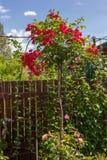 Rosa del rojo de Stam en jardín Fotografía de archivo libre de regalías