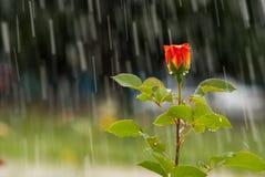 Rosa del rojo debajo de la lluvia Fotos de archivo