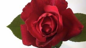 Rosa del rojo del lapso de tiempo que florece hacia fuera almacen de video