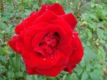 Rosa del rojo después de la lluvia Fotos de archivo libres de regalías