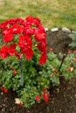Rosa del rojo después de la lluvia del verano Foto de archivo