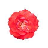 Rosa del rojo en blanco Fotos de archivo