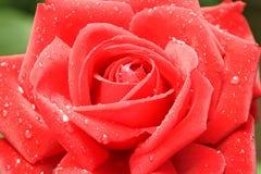 Rosa del rojo en descensos del rocío Fotos de archivo libres de regalías