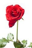 Rosa del rojo en el fondo blanco Imagen de archivo
