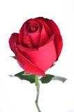 Rosa del rojo Imágenes de archivo libres de regalías