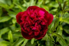 Rosa del rojo en el sol fotos de archivo libres de regalías