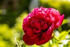 Rosa del rojo en el sol fotografía de archivo libre de regalías