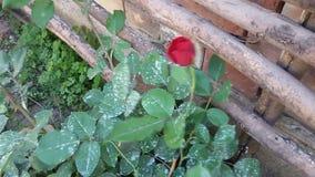 Rosa del rojo en el viento