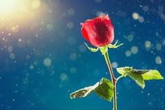 Rosa del rojo en fondo de la nieve Imágenes de archivo libres de regalías