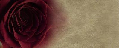 Rosa del rojo en fondo del pergamino Imagen de archivo libre de regalías