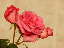 Rosa del rojo en Gheorgheni Foto de archivo libre de regalías
